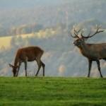 Slanské vrchy sú domovom jelenej zveri